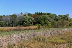 Prado com gramas e árvores dos cattails Fotografia de Stock Royalty Free