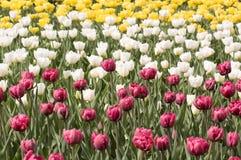 Prado com os tulips heterogéneos da mola Fotos de Stock Royalty Free
