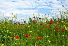 Prado com poppys Imagem de Stock