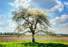 Prado com uma árvore de fruto de florescência Fotografia de Stock Royalty Free