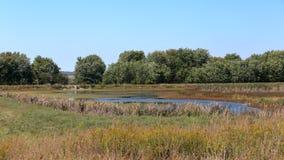 Prado com uma lagoa cercada por cattails e por árvores Fotografia de Stock