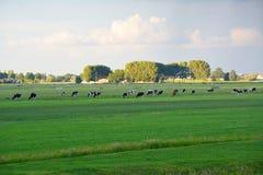 Prado com vacas Imagens de Stock
