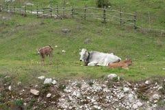 Prado com vacas Imagens de Stock Royalty Free