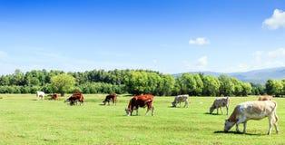 Prado com vacas Foto de Stock Royalty Free