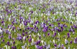 Prado completamente dos açafrões brancos e violetas que acordam do dre do inverno Imagens de Stock