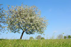 Prado con el árbol del resorte Fotografía de archivo
