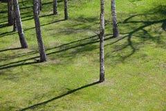 Prado con la hierba y los abedules jovenes en primavera Foto de archivo libre de regalías