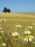 Prado con las flores Fotografía de archivo libre de regalías
