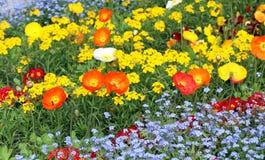 Prado con las flores brillantes hermosas de la amapola Imagenes de archivo