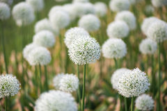 Prado con las flores del allium blanco Imagenes de archivo