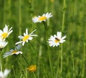 Prado con las flores salvajes y la abeja Fotografía de archivo libre de regalías