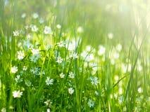 Prado con las hierbas de prado y las pequeñas flores blancas delicadas adentro Imagenes de archivo