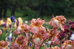 Prado con los iris coloridos Imagenes de archivo