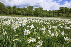 Prado con los narcisos florecientes imagen de archivo