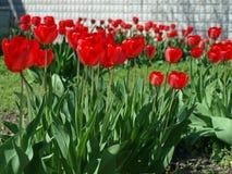 Prado con los tuipls rojos Fotografía de archivo libre de regalías