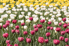 Prado con los tulipanes multicolores del resorte Fotos de archivo libres de regalías
