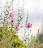 Prado cor-de-rosa das margaridas Imagem de Stock Royalty Free
