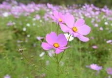 Prado cor-de-rosa das margaridas Fotografia de Stock Royalty Free