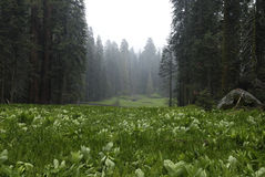 Prado crescente no parque nacional de Sequoia Foto de Stock
