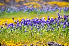 Prado cubierto en el nanus Lupine y otros wildflowers, reserva ecológica de la tabla del norte, Oroville, California del Lupinus  foto de archivo libre de regalías