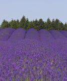 Prado da alfazema Foto de Stock Royalty Free