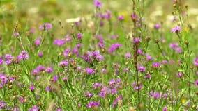Prado da centáurea das flores em um prado do verão vídeos de arquivo