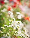 Prado da flor Foto de Stock