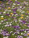 Prado da flor Foto de Stock Royalty Free
