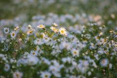 Prado da flor Fotografia de Stock Royalty Free