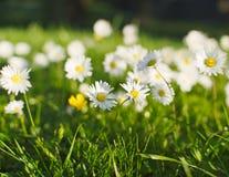Prado da flor da margarida na mola Imagem de Stock