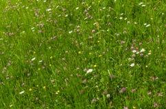 prado da flor na natureza Fotos de Stock
