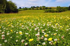 Prado da flor panorâmico Fotos de Stock Royalty Free
