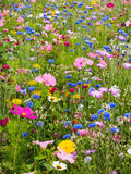 Prado da flor selvagem Foto de Stock Royalty Free