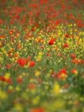 Prado da flor selvagem do verão Imagens de Stock Royalty Free