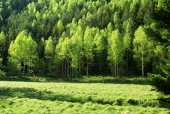 Prado da floresta na mola Imagem de Stock