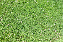 Prado da grama verde Imagem de Stock