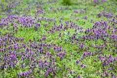 Prado da grama verde com flores Fotos de Stock