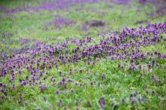 Prado da grama verde com flores Imagens de Stock