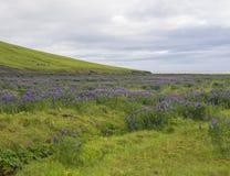 Prado da grama verde com grama luxúria; molhe o córrego e campo de flor do lupine, mar e o horizonte roxos do céu azul, verão em  Imagens de Stock Royalty Free