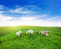 Prado da grama verde do pasto das cabras foto de stock royalty free