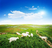 Prado da grama verde do pasto das cabras fotos de stock