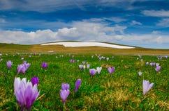 Prado da montanha com florescência do açafrão Foto de Stock