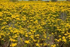 Prado das flores na costa oeste de África do Sul Foto de Stock Royalty Free