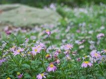 Prado de flores púrpuras brillantes Foto de archivo libre de regalías