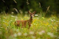 Prado de florescência bonito com muitos flores e animal brancos e amarelos, cervos de ovas, capreolus do Capreolus, mastigando as Fotos de Stock