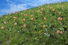 Prado de florescência da mola com tulipas Fotografia de Stock