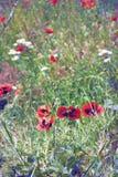 Prado de florescência, papoilas selvagens Verão ensolarado Fotografia de Stock