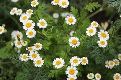 Prado de la flor con las margaritas Foto de archivo