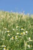 Prado de la flor de la manzanilla Foto de archivo libre de regalías