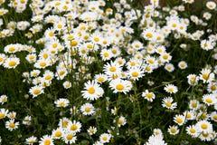 Prado de la flor de la margarita Fotos de archivo libres de regalías